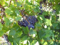 grapes (2)