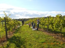 Grape Harvesting is a friends and family affair.